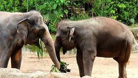 两头棕色大象在动物园里吃着 免版税库存图片