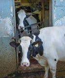 两头母牛凝视 库存图片