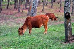 两头母牛在草甸在森林里 免版税库存图片