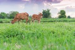 两头母牛,婴孩,吃在领域的草 库存照片