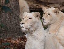 两头母白色狮子 库存照片