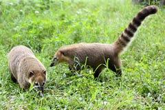 两头浣熊在台湾花莲农场 免版税库存照片