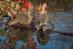 两头浣熊在日志爪子的浣熊属lotor在水中 库存图片