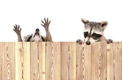两头滑稽的嬉戏的浣熊,偷看从篱芭的后面 免版税库存照片