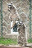两头滑稽的灰色浣熊 免版税库存照片