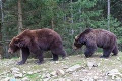 两头熊通过森林走 库存图片
