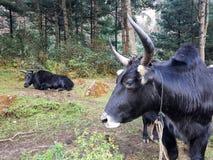 两头牦牛采取休息 免版税库存照片