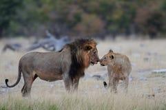 两头狮子男性看, etosha nationalpark,纳米比亚,豹属利奥 免版税库存图片