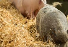 两头猪寻找在秸杆的食物 免版税图库摄影