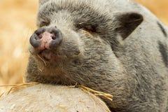 两头猪寻找在秸杆的食物 库存照片