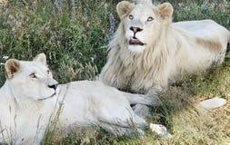 两头白色狮子在草在并且有休息 图库摄影