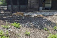 两头白色驴步行室外在夏天公园 库存照片