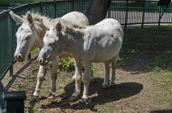 两头白色驴步行室外在夏天公园 免版税库存照片