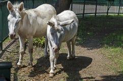 两头白色驴步行室外在夏天公园 免版税图库摄影