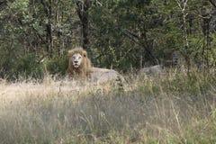 两头缺乏白色狮子在一棵树的树荫下休息在灌木的 免版税图库摄影
