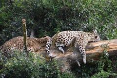 两头美丽的睡觉豹子画象在一棵树的在南非 免版税图库摄影