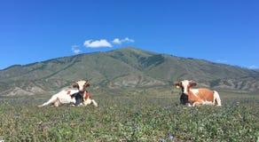 两头轰烈的母牛 免版税图库摄影