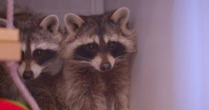 两头逗人喜爱的蓬松浣熊特写镜头射击在动物园的笼子的小心观察周围 股票录像