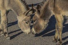两头野生驴看起来面对面 免版税库存照片