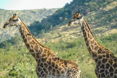 两头长颈鹿侧视图-克留格尔国家公园- 2017年 库存图片