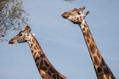 两头长颈鹿的头和脖子,被拍摄反对清楚的蓝天在口岸Lympne徒步旅行队公园在阿什富德附近,肯特,英国 免版税库存照片