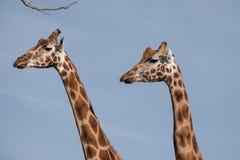 两头长颈鹿的头和脖子,被拍摄反对清楚的蓝天在口岸Lympne徒步旅行队公园在阿什富德附近,肯特,英国 库存照片