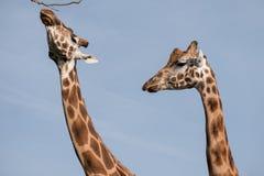 两头长颈鹿的头和脖子,被拍摄反对清楚的蓝天在口岸Lympne徒步旅行队公园在阿什富德附近,肯特,英国 库存图片