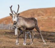 两头驯鹿在北部挪威 免版税图库摄影