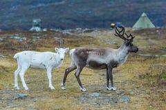 两头驯鹿褐色和白色 库存图片