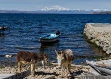 两头驴有横跨La isla del Sol的喀喀湖的看法 免版税库存图片