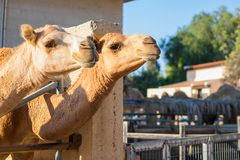 两头骆驼头在骆驼公园,拉纳卡,塞浦路斯 库存照片