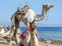 两头骆驼画象在海海岸的在埃及宰海卜南西奈 免版税库存照片