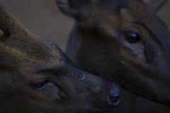 两头鹿特写镜头照片 鹿顶头特写镜头 驯鹿家庭在动物园里 库存图片