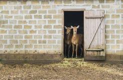 两头鹿立场在房子里 免版税库存照片