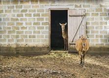 两头鹿立场在房子里 免版税库存图片