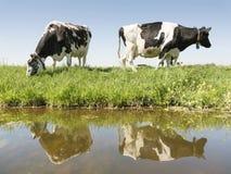 两头黑白母牛在绿色草甸在运河中水反射了在荷兰 免版税库存图片