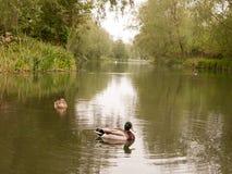两女性和公野鸭在春天光的一条河关闭  库存图片