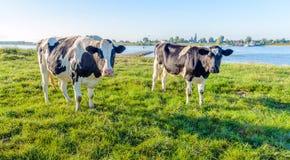 两好奇地看的黑色察觉了在河岸的母牛 库存图片