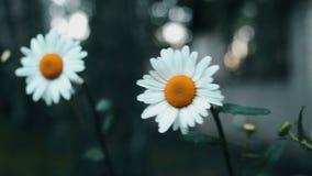 两好的春黄菊好的4k 影视素材