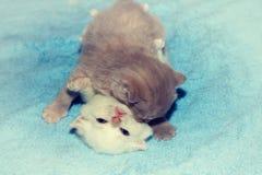 两嬉戏的小的小猫 图库摄影