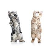 两嬉戏的滑稽的小猫 免版税图库摄影