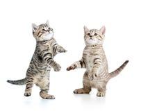 两嬉戏的滑稽的小猫 免版税库存照片