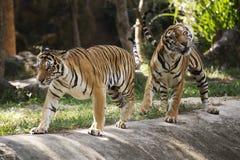 两孟加拉老虎 免版税库存图片