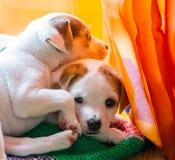 两宠物 免版税库存图片