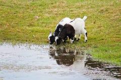 两家用黑白山羊孩子饮料水 免版税库存图片