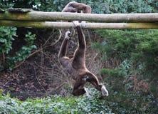 两家神长臂猿 图库摄影