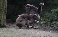 两家神长臂猿 库存图片