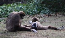 两家神长臂猿 免版税库存照片