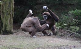 两家神长臂猿 免版税库存图片