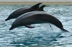 两宽吻海豚跳 库存图片